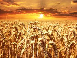 wheat-field_pixabay